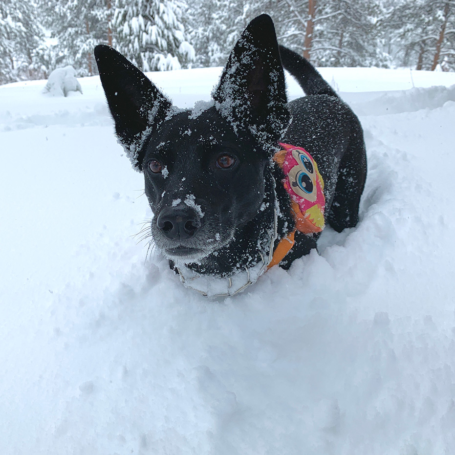 Black dog in deep snow